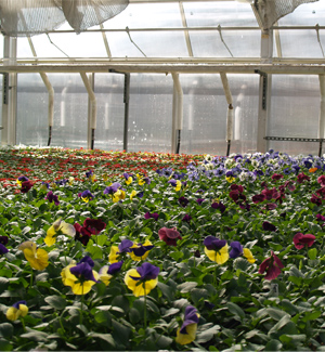 flowers-in-greenhouse